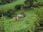 Vacas en un prado